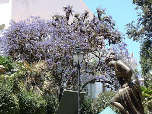 Jacarandas en fleurs - Sucre