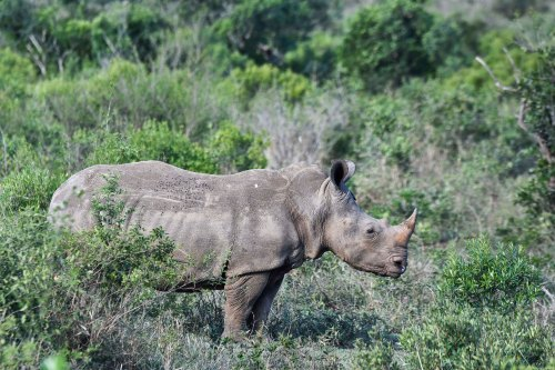 Hluhluwe rhinocéros blanc_5787