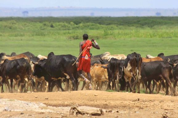 maasai-cattle